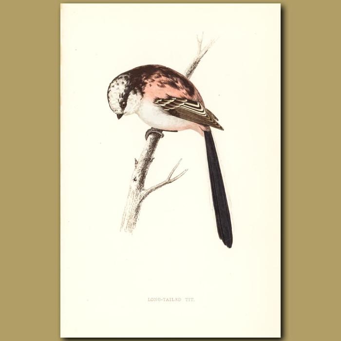 Antique print. Long-tailed Tit