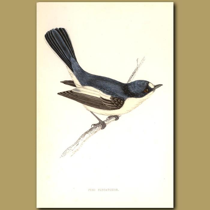 Antique print. Pied Flycatcher