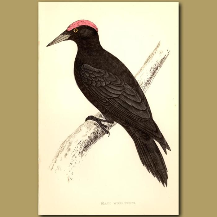Antique print. Black Woodpecker