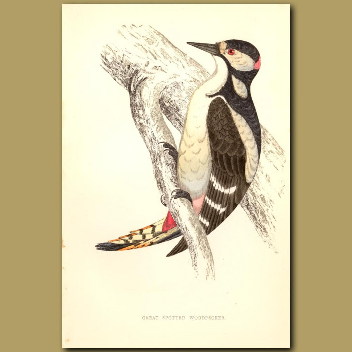 Antique print. Great Spotted Woodpecker