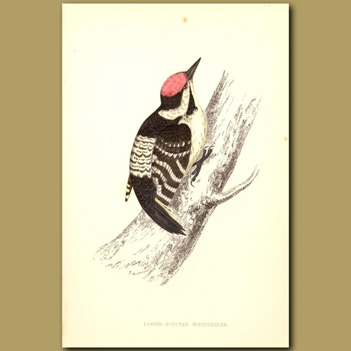 Antique print. Lesser-Spotted Woodpecker