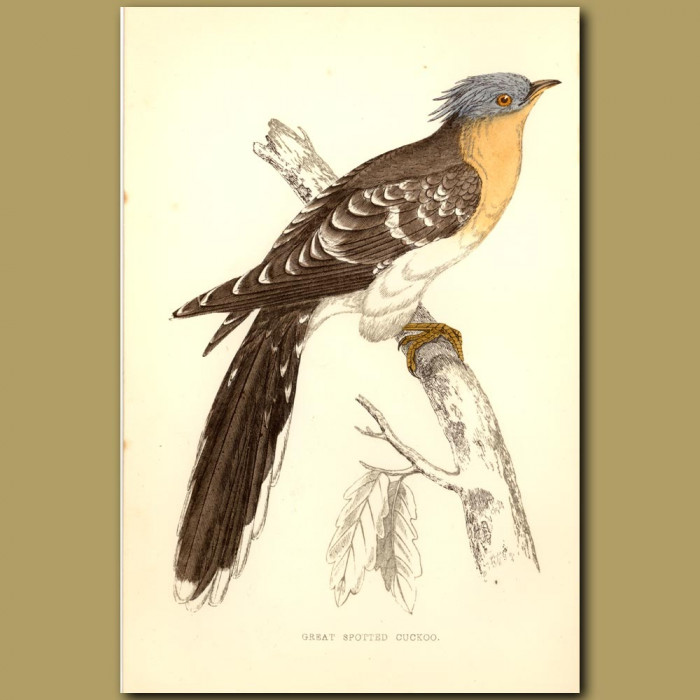 Antique print. Great Spotted Cuckoo