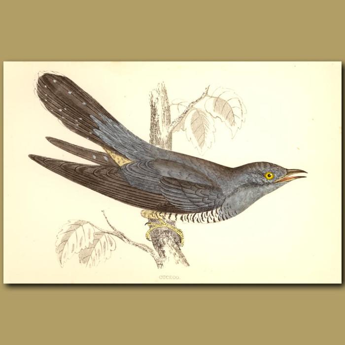 Antique print. Cuckoo