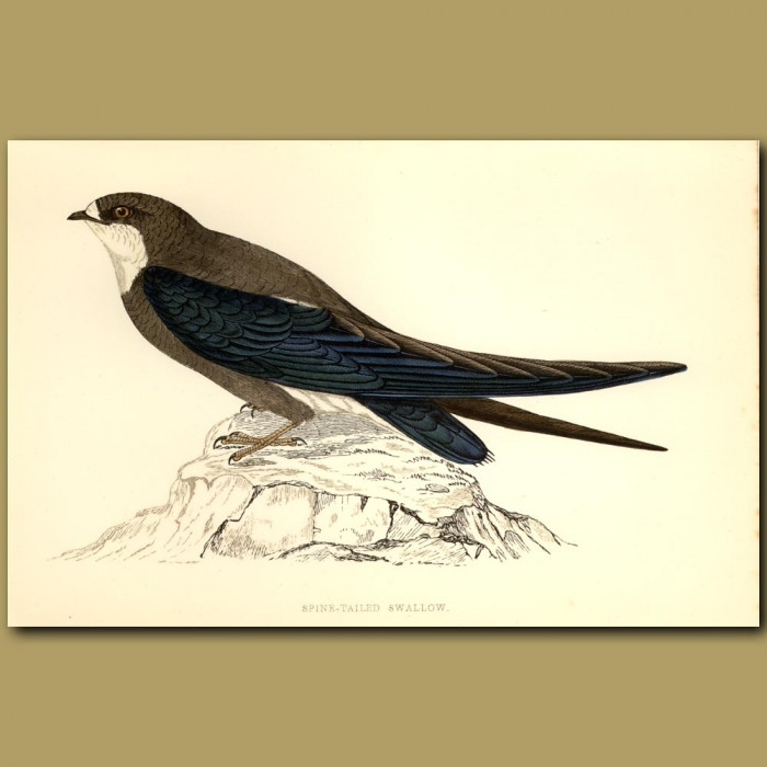 Antique print. Spine-Tailed Swallow