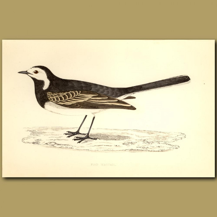 Antique print. Pied Wagtail