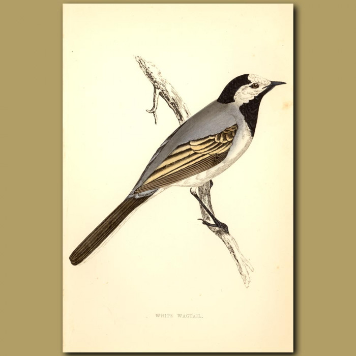 Antique print. White Wagtail