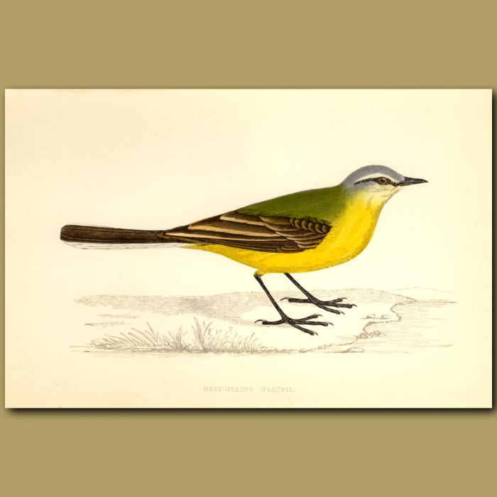 Antique print. Grey-Headed Wagtail