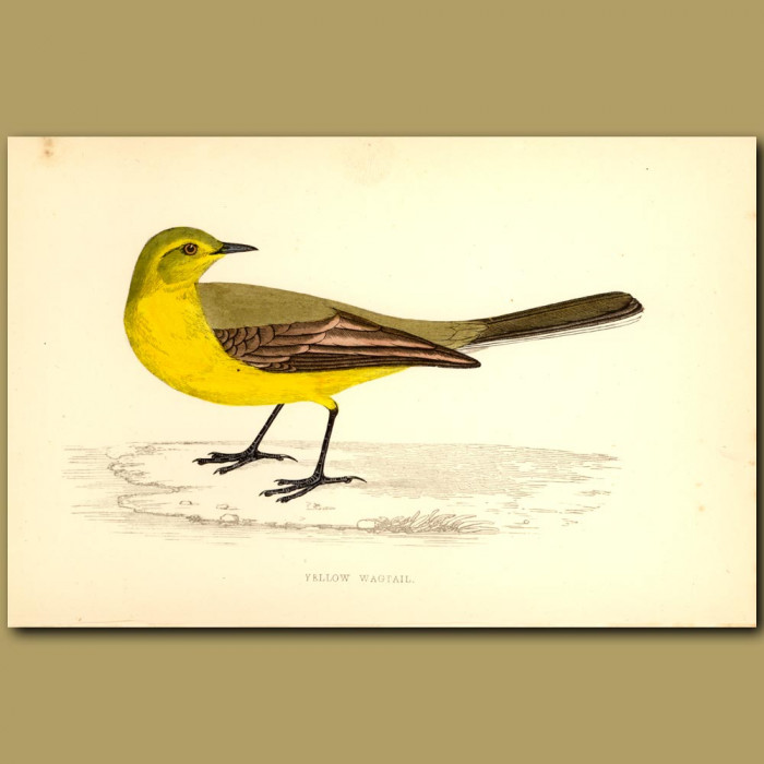 Antique print. Yellow Wagtail