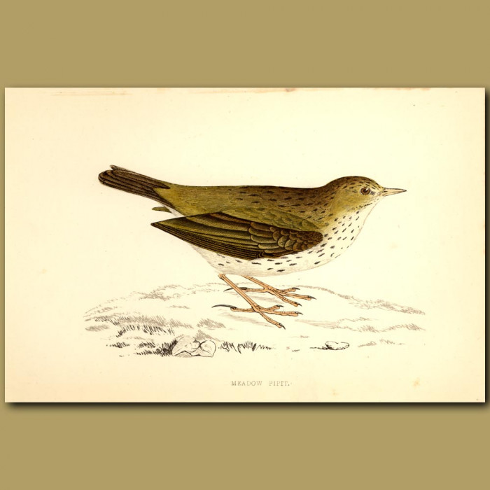 Meadow Pipit: Genuine antique print for sale.