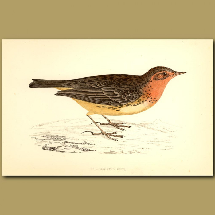 Antique print. Red-throated Pipit