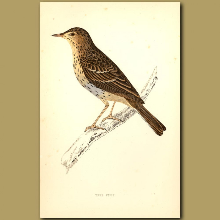 Tree Pipit: Genuine antique print for sale.