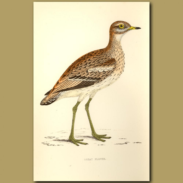 Great Plover: Genuine antique print for sale.