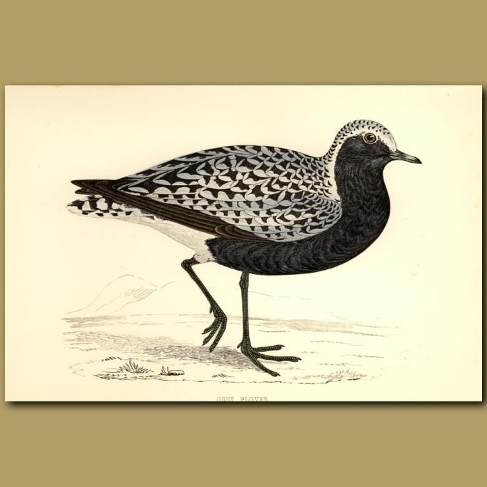 Antique print. Grey Plover