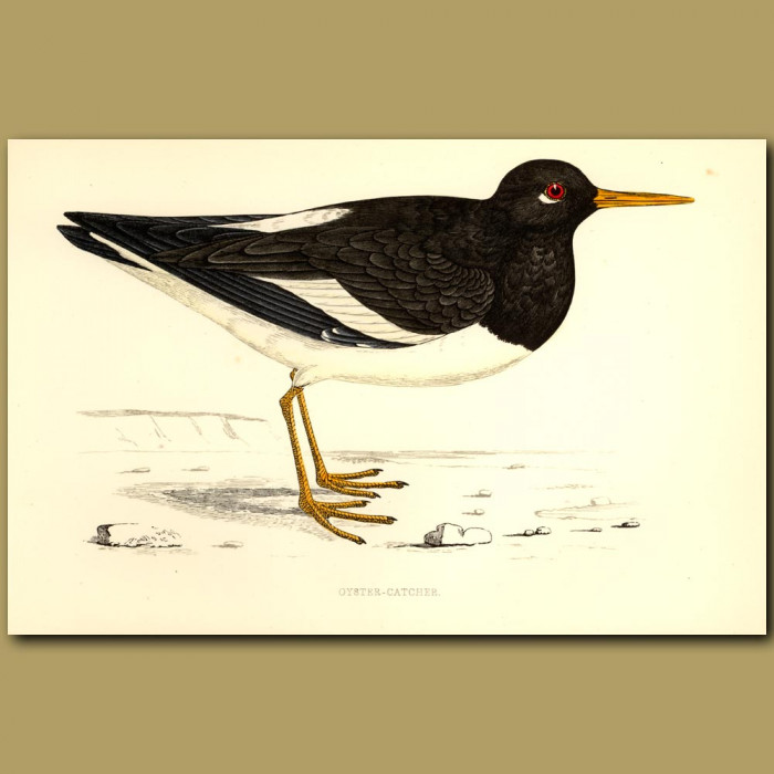 Oyster-catcher: Genuine antique print for sale.