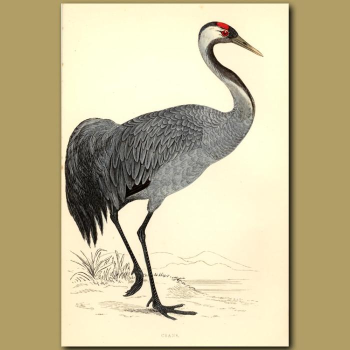 Antique print. Crane