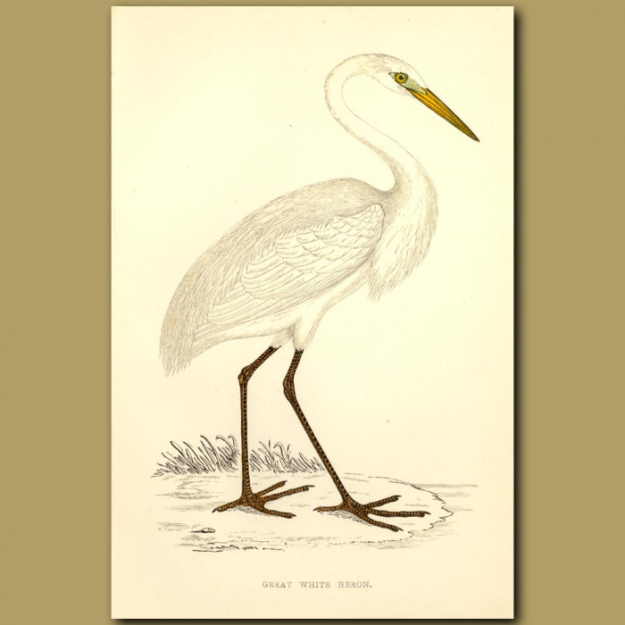 Antique print. Great White Heron