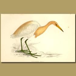 Buff-Backed Heron