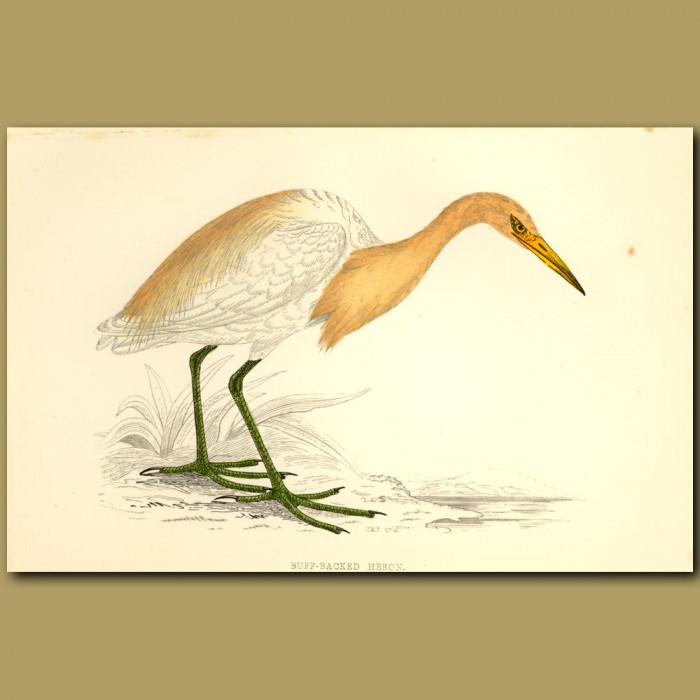Antique print. Buff-Backed Heron