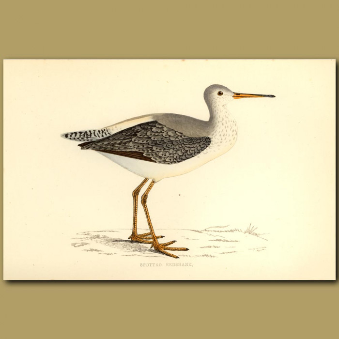 Antique print. Spotted Redshank