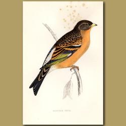 Mountain Finch