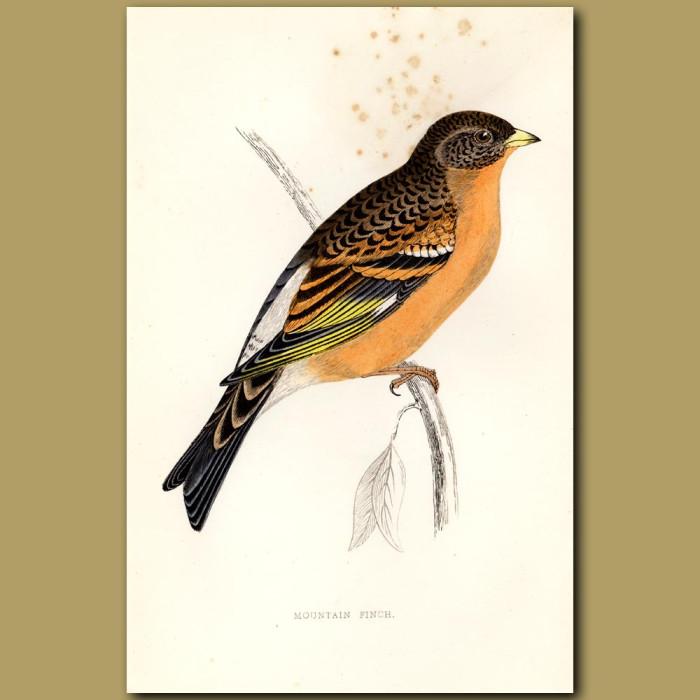 Antique print. Mountain Finch