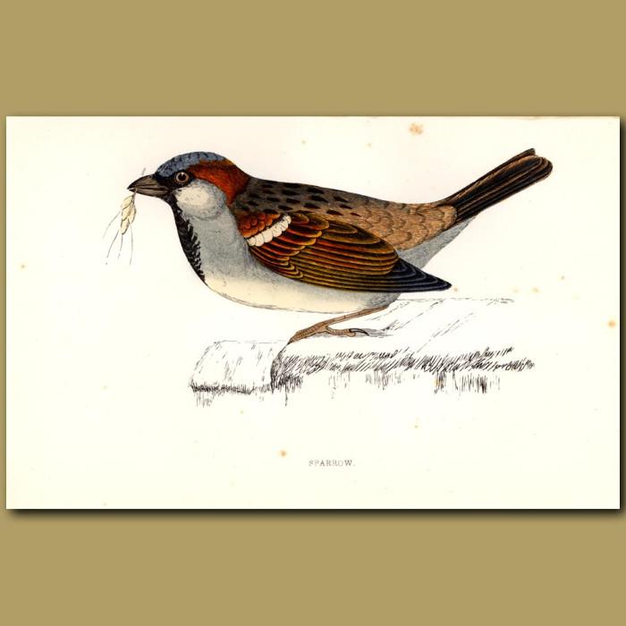 Antique print. Sparrow