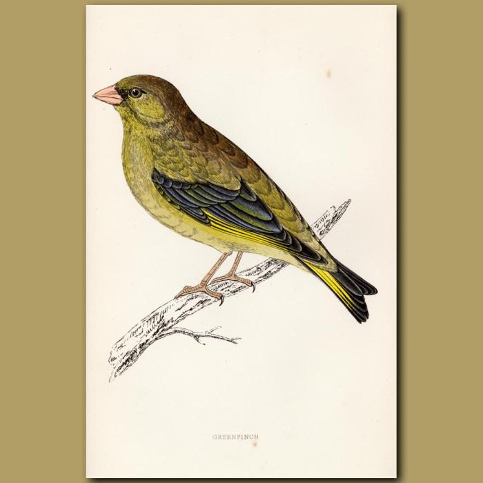 Antique print. Greenfinch