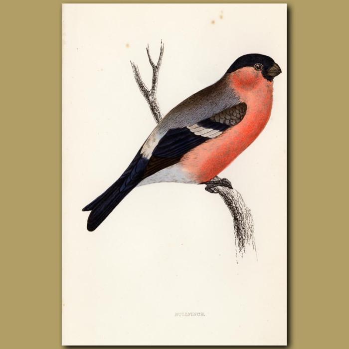 Antique print. Bullfinch