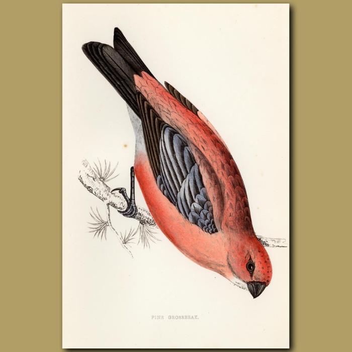 Antique print. Pine Grosbeak