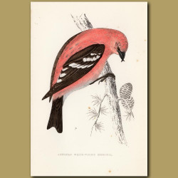 American White-Winged Crossbill