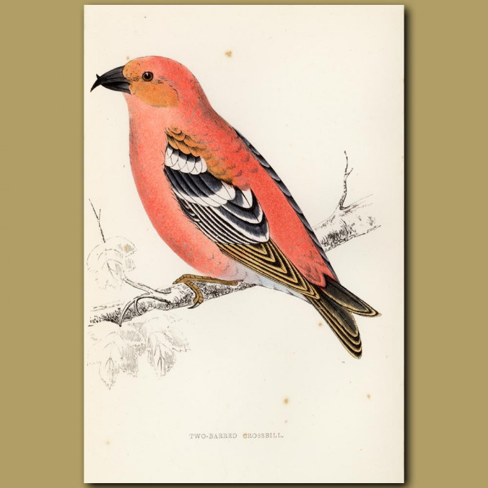 Antique print. Two-barred Crossbill