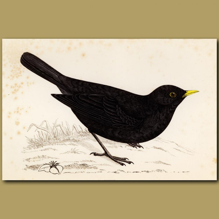 Antique print. Blackbird