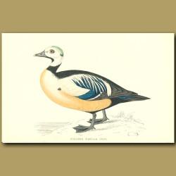 Steller's Western Duck