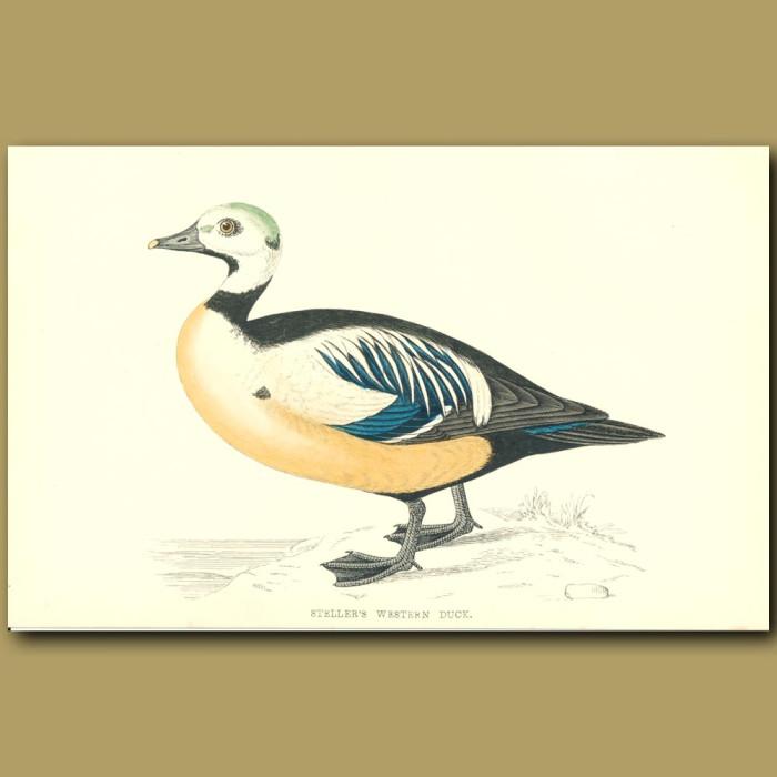 Antique print. Steller's Western Duck