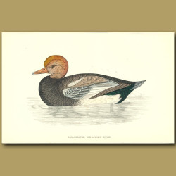 Red-Crested Whistling Duck