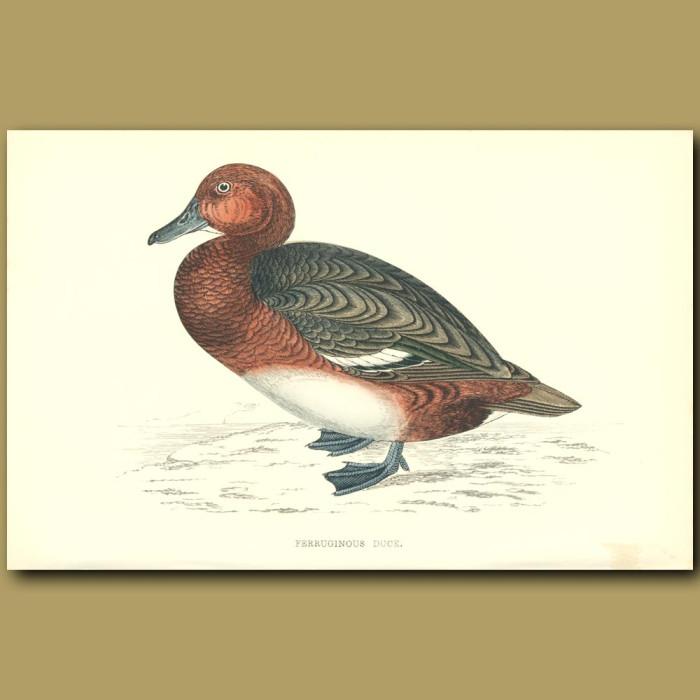 Antique print. Ferruginous Duck