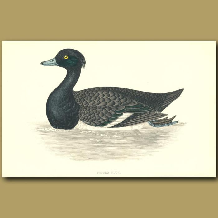 Antique print. Tufted Duck