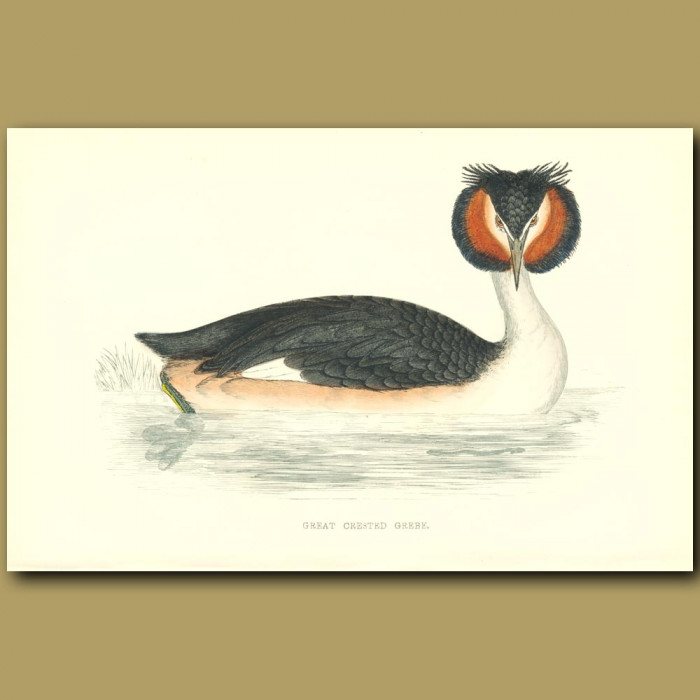 Antique print. Great Crested Grebe