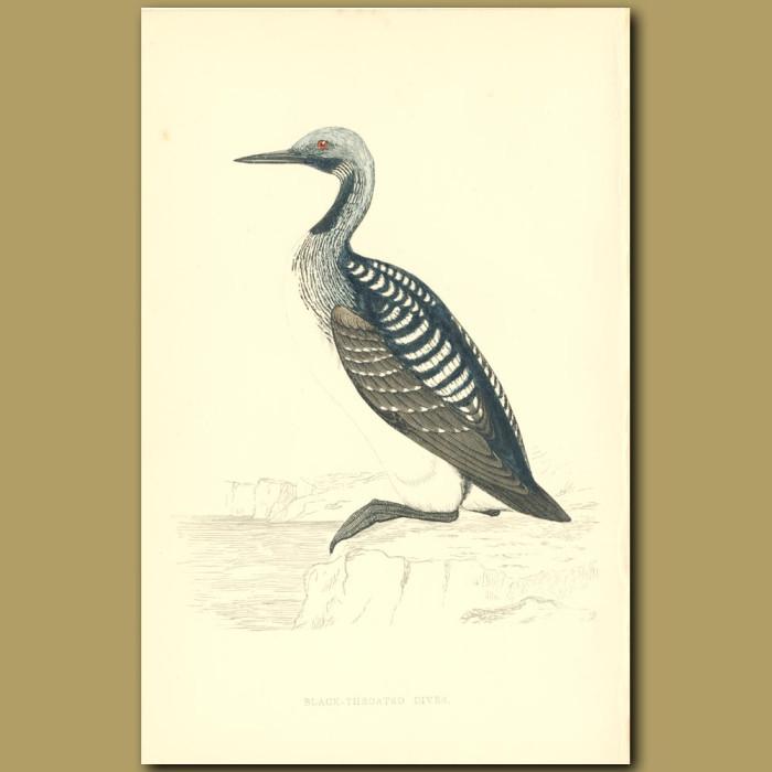 Antique print. Black-throated Diver