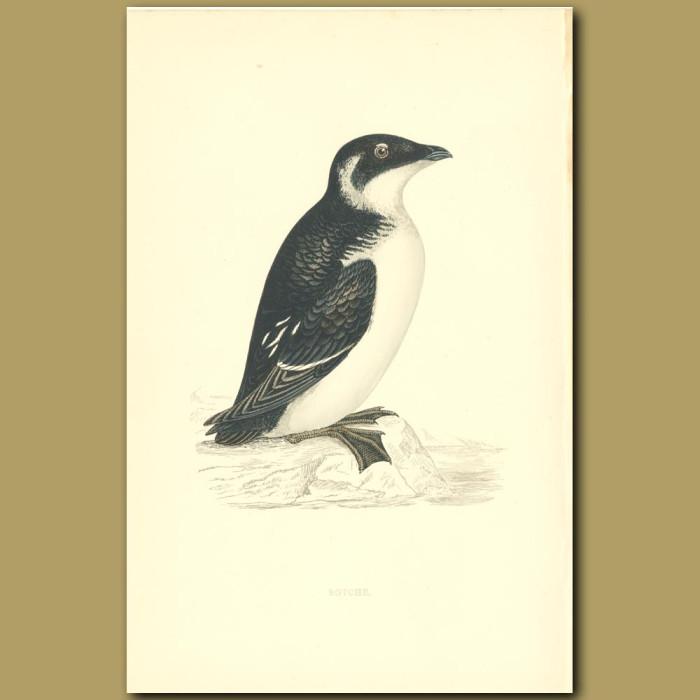 Antique print. Rotche or Little Auk