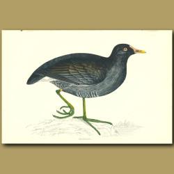 Moor Hen