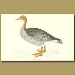 Grey-Lag Goose