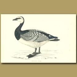 Bernicle Goose