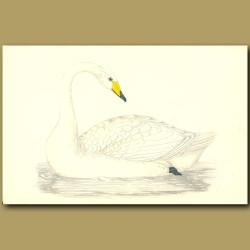 Hooper Swan