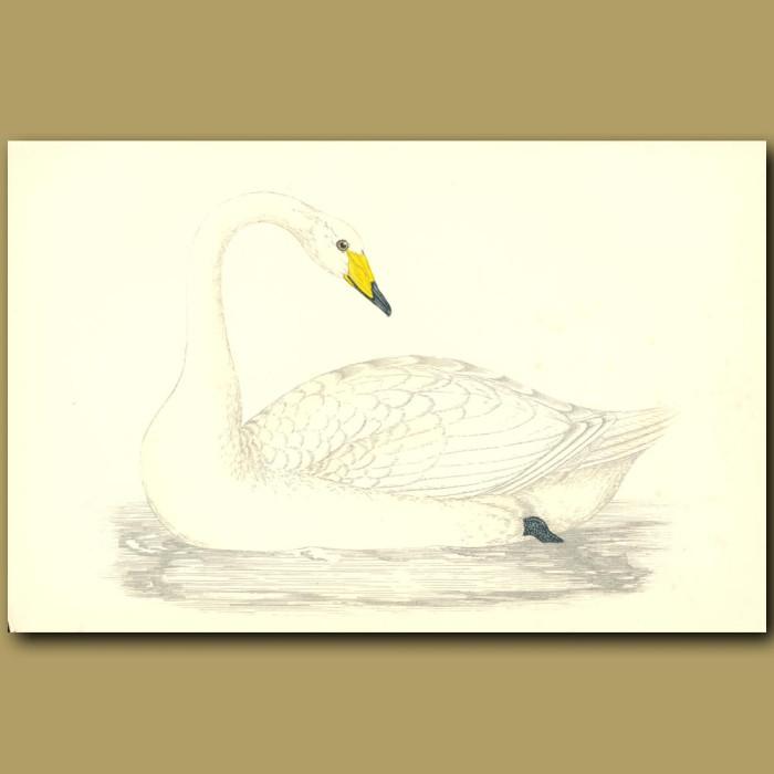 Antique print. Hooper Swan