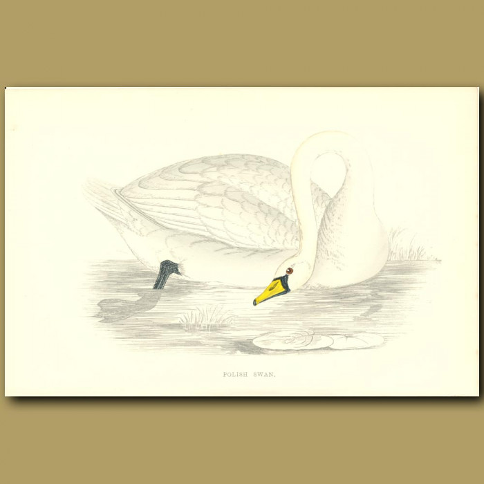 Antique print. Polish Swan