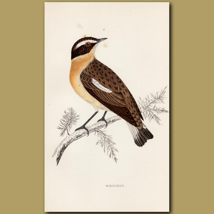 Whinchat: Genuine antique print for sale.
