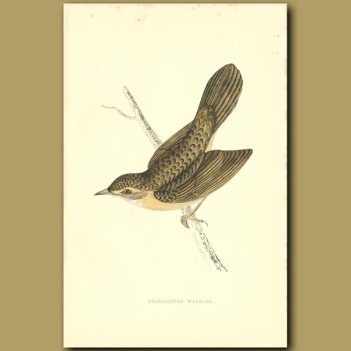 Antique print. Grasshopper Warbler