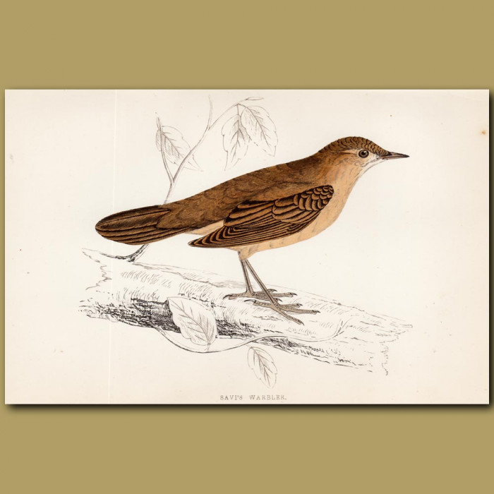 Savi's Warbler: Genuine antique print for sale.