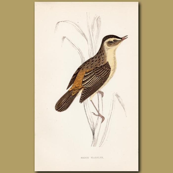 Sedge Warbler: Genuine antique print for sale.